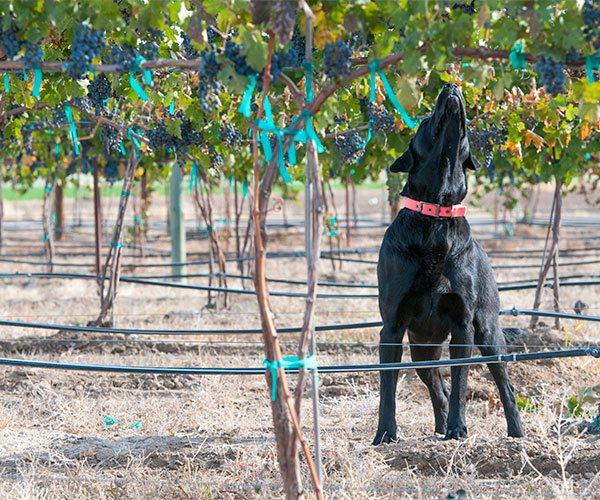 Hershey smelling ripe grapes in the Huston Vineyards estate vineyard