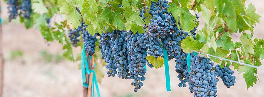 Petite Sirah grapes on vine