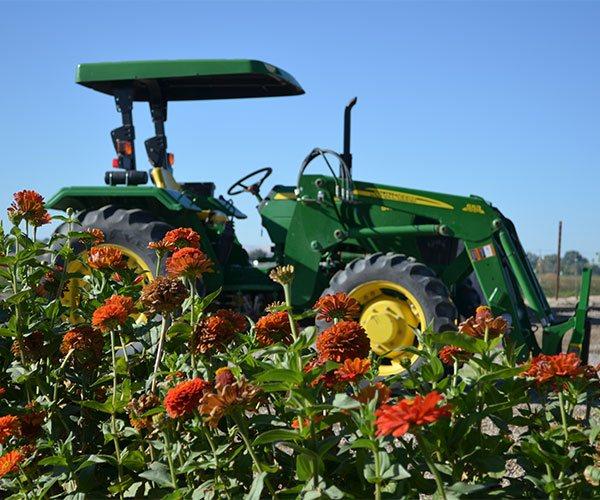 Tractor by orange Zinnia flowers on the estate vineyard