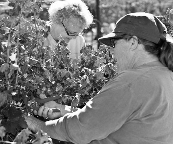 Wine club members at the Huston Vineyards Harvest Party harvesting grapes