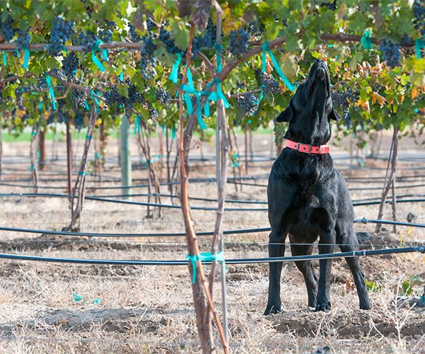Hershey smelling ripe grapes in the Huston Vineyards estate vineyard