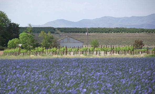 Flax field behind Huston Vineyards' vineyard and tasting room