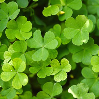 Close up of green clovers