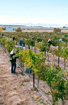 Huston Vineyards estate vineyard during the annual Harvest Party