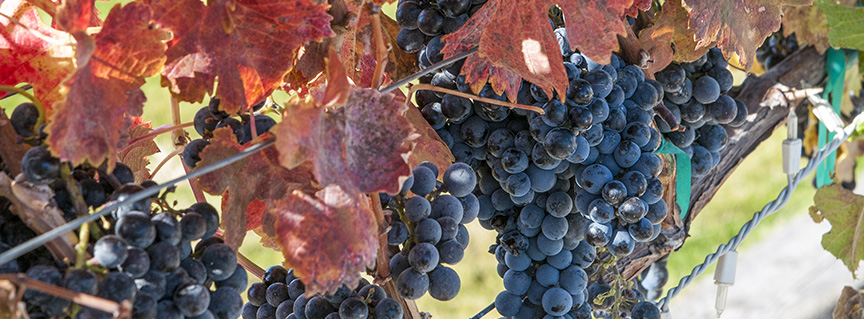 Grapes on autumnal vine at Huston Vineyards