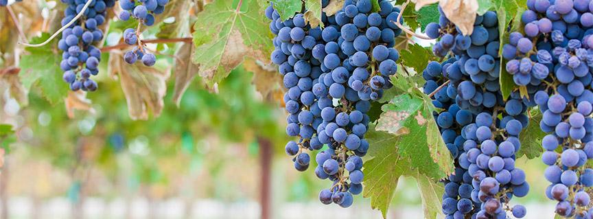 Syrah grapes on vine